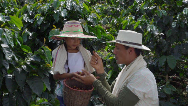 father teaching daughter what coffee beans are good to collect - coffee farmer video stock e b–roll