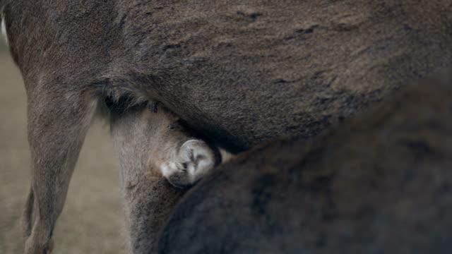 fawn feeding - jelonek filmów i materiałów b-roll