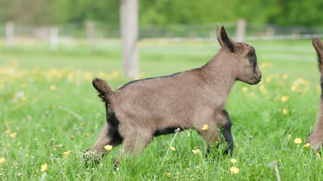 vídeos de stock, filmes e b-roll de fawn prado na primavera - animais da fazenda