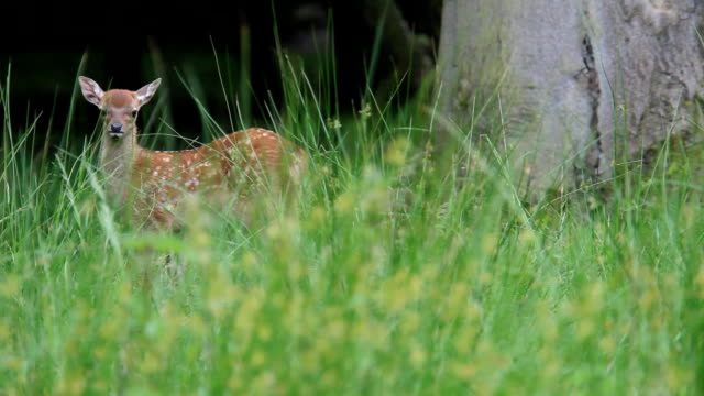 fawn video