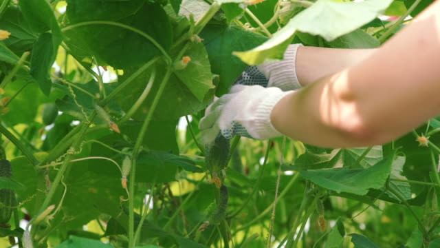 vídeos y material grabado en eventos de stock de feamle farmer picking a cucumber - pepino