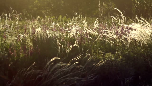 Feather grass and cornflowers in the backlight video