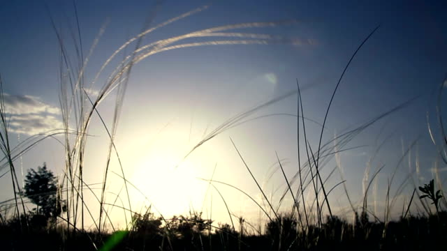 Feather grass shaking in front of sunset video