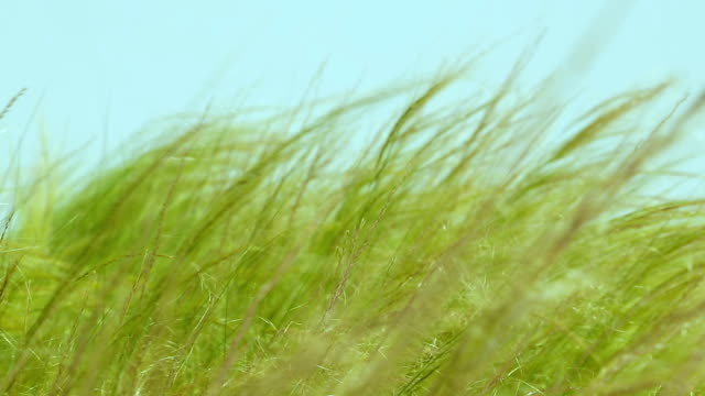 Feather grass steppe closeup Feather grass steppe closeup. Wind blowing feather grass on blue background. Feather grass at the park during wind. The feather-grass flutters in the wind and shines in the sun's rays. Natural concept grass area stock videos & royalty-free footage