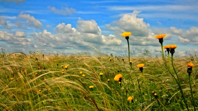 feather grass with yellow meadow flowers and blue sky with cumulus clouds video