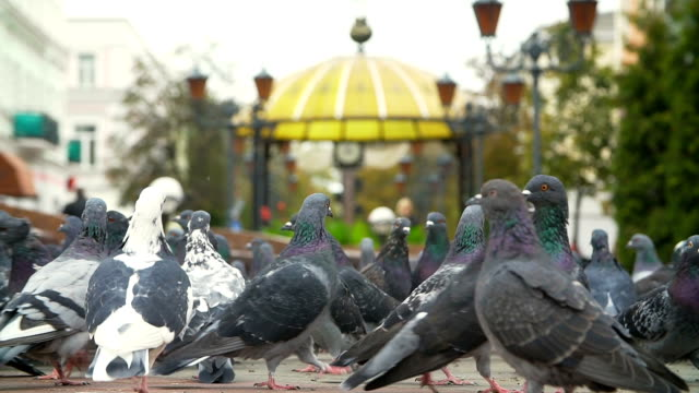 Fed pigeons at the city square video