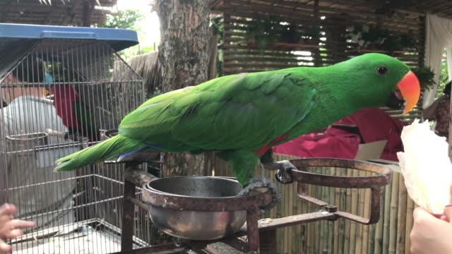 vidéos et rushes de nourrir un oiseau mignon de psittacidés ou perroquet. - apprivoisé