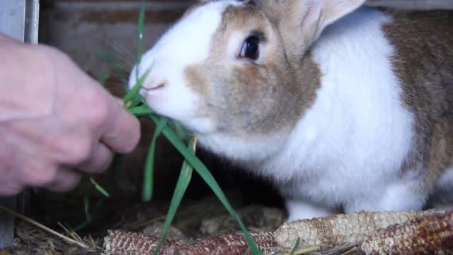 vidéos et rushes de nourrir un lapin - foin