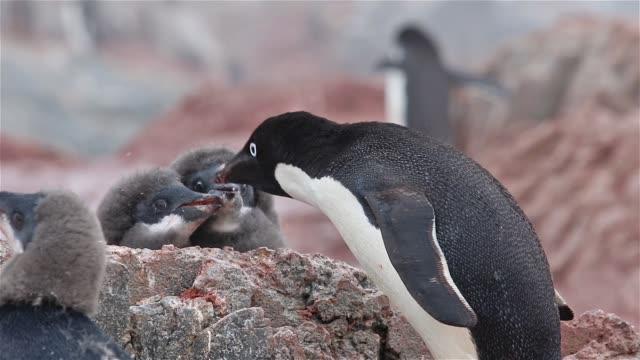 Alimentación de pingüinos de Adelia pollitos - vídeo