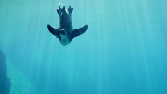 feeding animals, penguin eat fodder underwater in oceanarium - pingwin filmów i materiałów b-roll