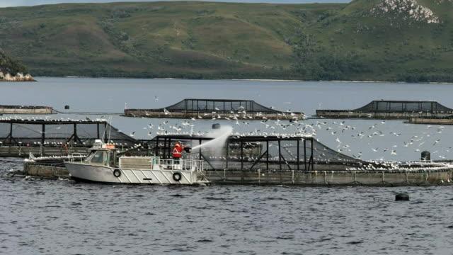 feeding atlantic salmon at a farm in macquarie harbour