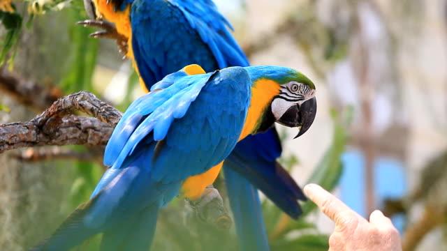 feeding Blue Macaws. video