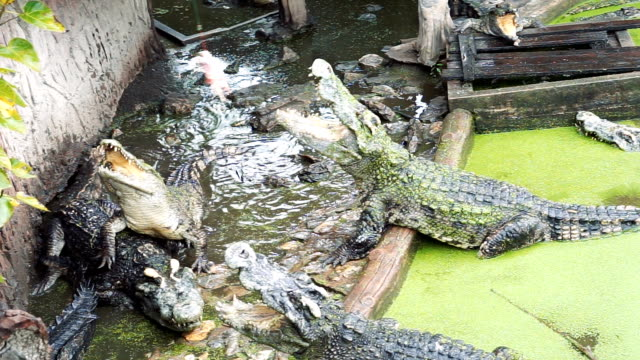 vídeos de stock e filmes b-roll de feeding crocodile - boca suja