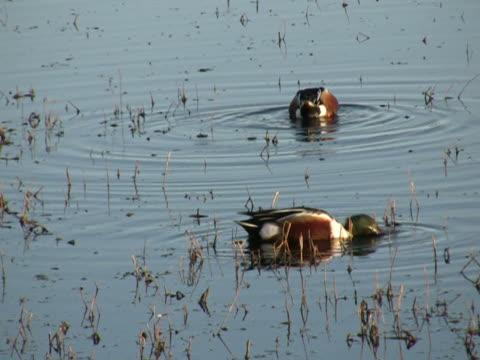 ntsc: nutrizione drakes - uccello acquatico video stock e b–roll
