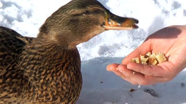 кормить утка от руки - утка водоплавающая птица стоковые видео и кадры b-roll
