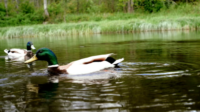 Feeding ducks on the river. video