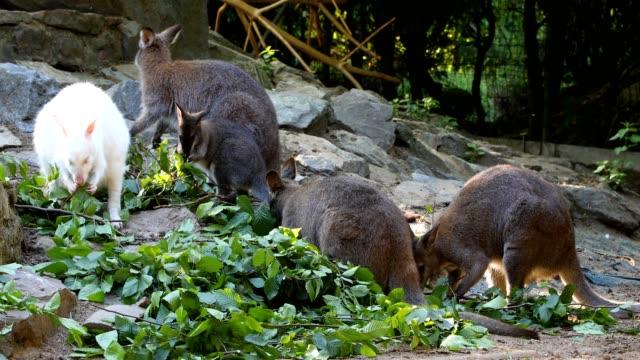feeding family of cute kangaroo Red necked Wallaby video