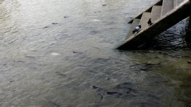 feeding fish in chao phraya river, bangkok - siluriformes video stock e b–roll