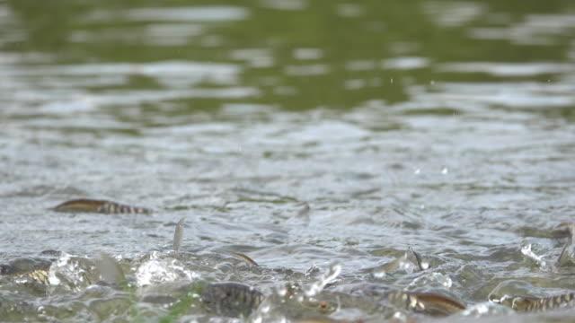 Feeding fish in pond Video of Feeding many fish in pond. 4K(UHD) 3840x2160 format. marsh stock videos & royalty-free footage
