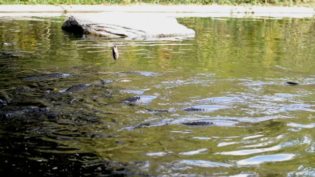 feeding fish large Arapaima video
