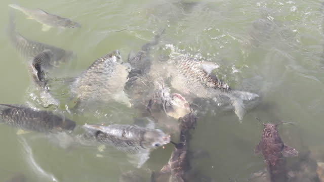 stockvideo's en b-roll-footage met feeding fish. - carp