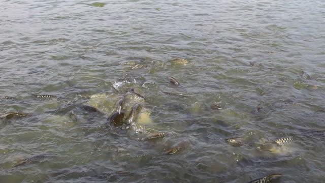 stockvideo's en b-roll-footage met voeden van vissen - carp