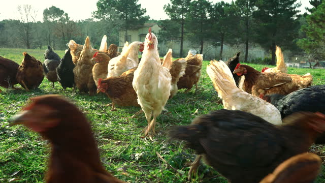 Feeding Free Range Chickens and a Rooster Running Across Grass