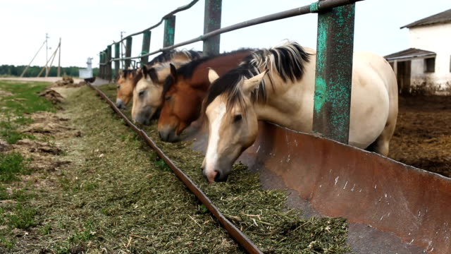 Feeding horses in the pen Horses eat feed from the trough corral stock videos & royalty-free footage