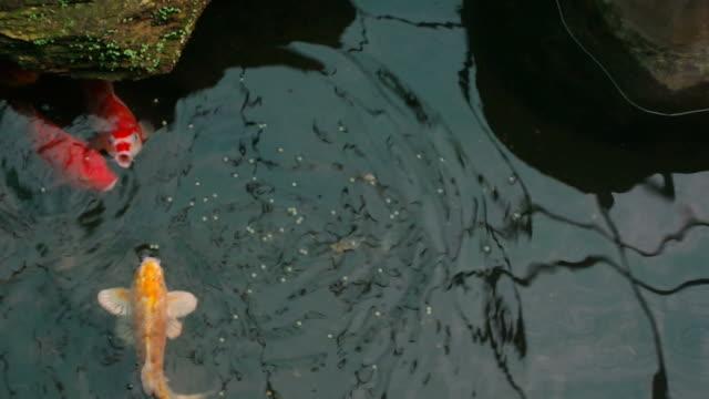 feeding Koi carp in the pond video