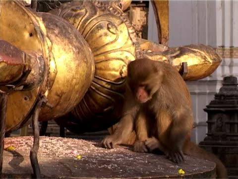 Feeding Macaque video