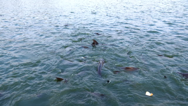 feeding many pangasius fish in pond. - siluriformes video stock e b–roll