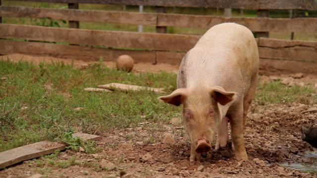 Feeding Pig video
