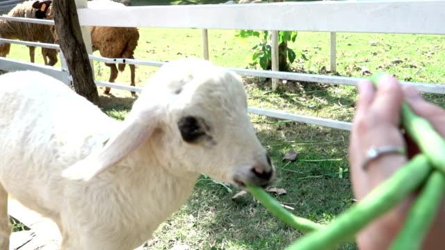 HD: feeding sheep in zoo video