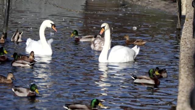 Feeding the ducks swans pigeons seagulls at Mitcham Pond video