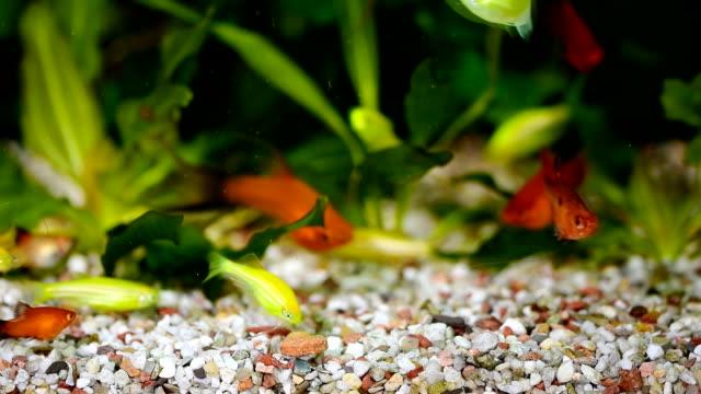 utfodring av fisk i akvariet - platypus bildbanksvideor och videomaterial från bakom kulisserna