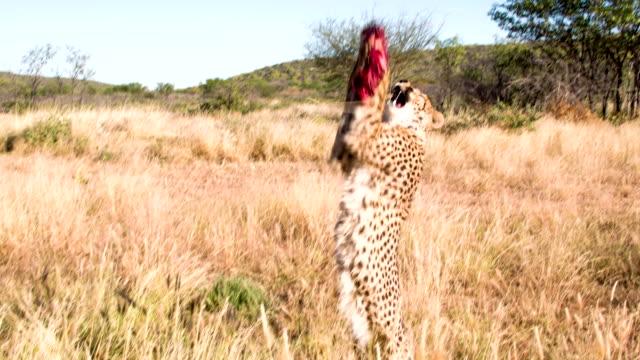 ms feeding the leopard - single pampas grass bildbanksvideor och videomaterial från bakom kulisserna