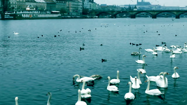 feeding the swans on the Vltava. view of Prague Castle from the quay video