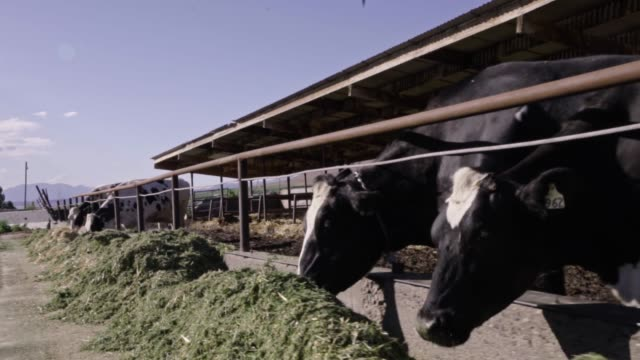 Feeding Time For A Herd Of Cows On A Dairy Farm In Rural Utah