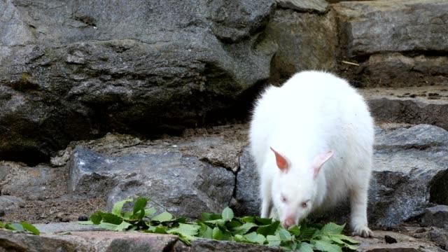 feeding white albino kangaroo, Red necked Wallaby video
