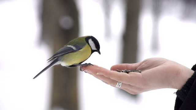 SLOW MOTION: Feeding wild birds in winter Wild birds eating seeds out of a hand landing touching down stock videos & royalty-free footage