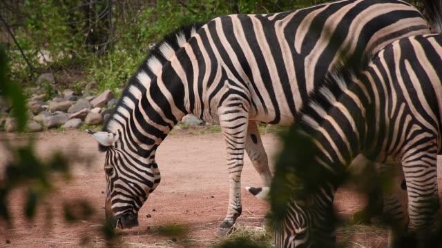 Feeding zebras, two adult zebra in summer afternoon