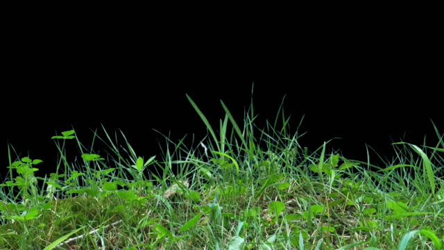 3 feet of grass FX element An isolated portion of grass surface 3 feet in size (1 meter) with a slight fluttering in the wind. Filmed in the wild living surface element for Visual FX & Motion Graphics. blade of grass stock videos & royalty-free footage