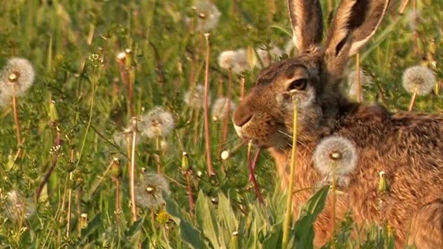 brown hat-europäischen hare-lepus europaeus - hase stock-videos und b-roll-filmmaterial