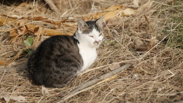 felis catus gray and white animal resting in the field 4k - кошка смешанной породы стоковые видео и кадры b-roll