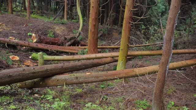 Felling Natural forest