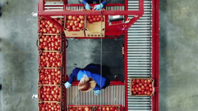Female agriculturists are moving tomato boxes along the conveyor. Packaging process at a industrial factory. video