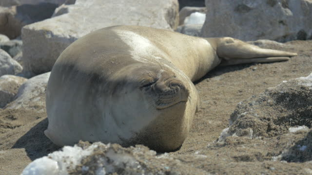 Female Antarctic Elephant Seal video