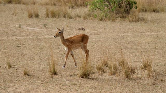 kvinnlig antilop impala promenad på afrikanska slätter i torr period med torkat gräs - single pampas grass bildbanksvideor och videomaterial från bakom kulisserna