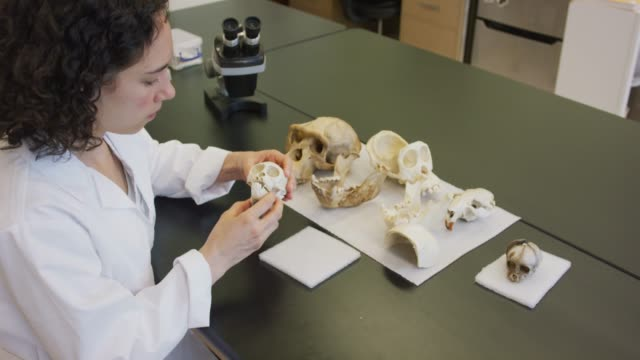 Female Anthropologist Inspecting Bones A young Hawaiian female anthropologist inspects the bones of a primate mammal stock videos & royalty-free footage