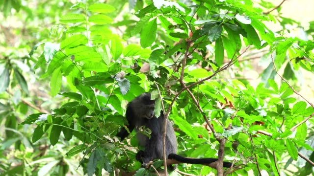 female blue monkey in tree at lake manyara a female blue monkey in tree at lake manyara national park in tanzania blue monkey stock videos & royalty-free footage